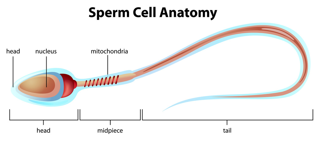 Sperm cell structure