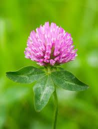 red-clover-trifolium-pretense