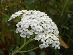 yarrow-achillea-millefolium